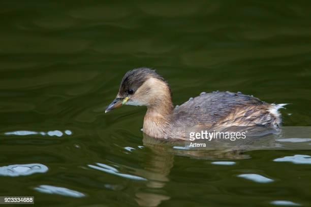 Little grebe swimming in winter plumage