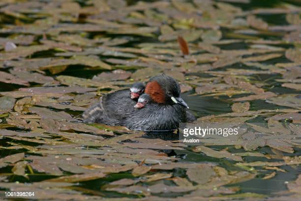 Little grebe with young on back UK