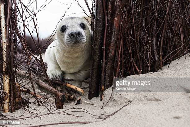 Little grey seal