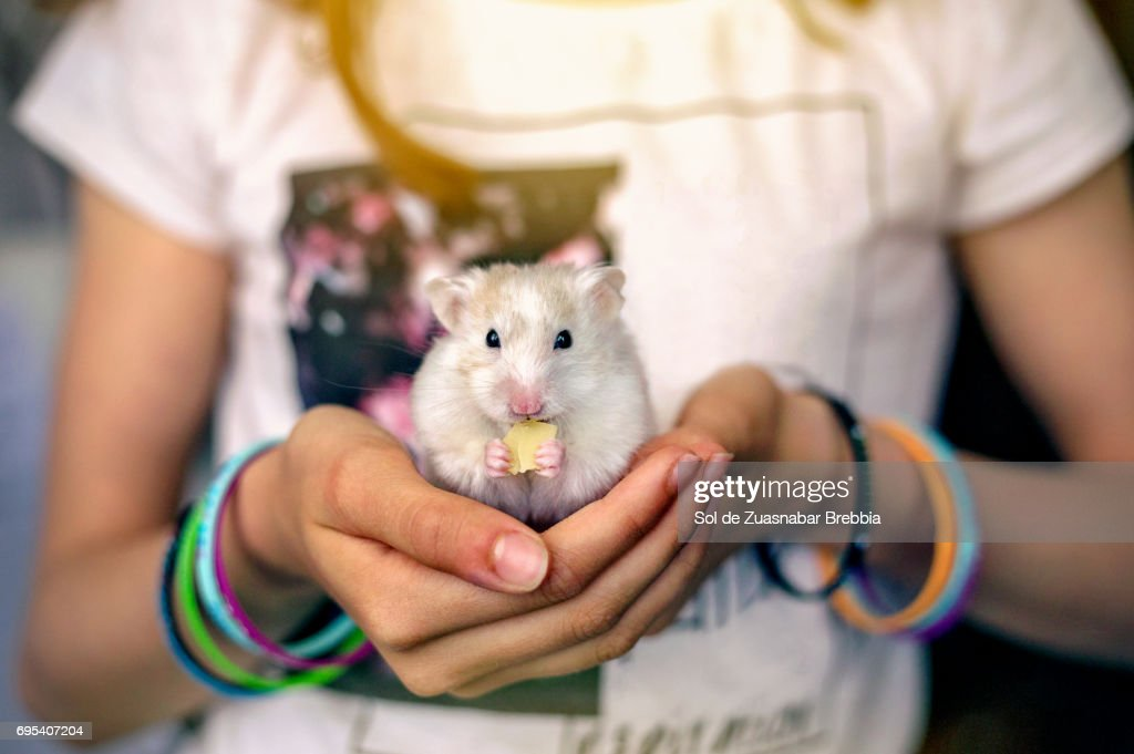 Little hamster eating cheese in a girl's hands : Stock Photo