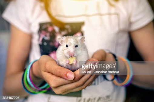 Little hamster eating cheese in a girl's hands