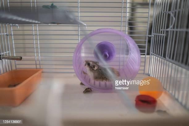 petit hamster fonctionnant dans la roue - hamster photos et images de collection