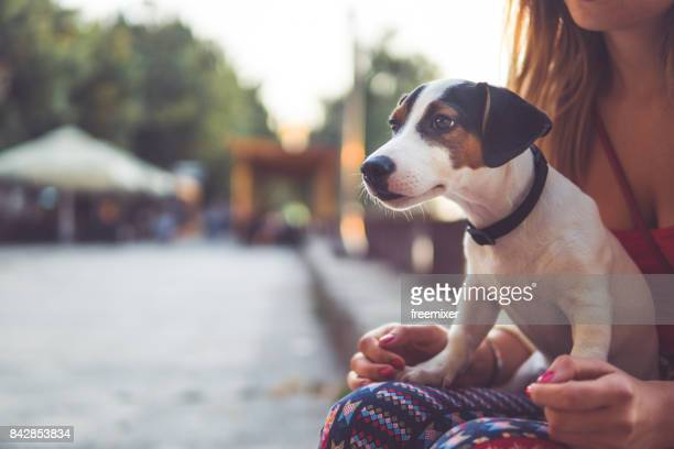 little jack russel - lap dog stock pictures, royalty-free photos & images