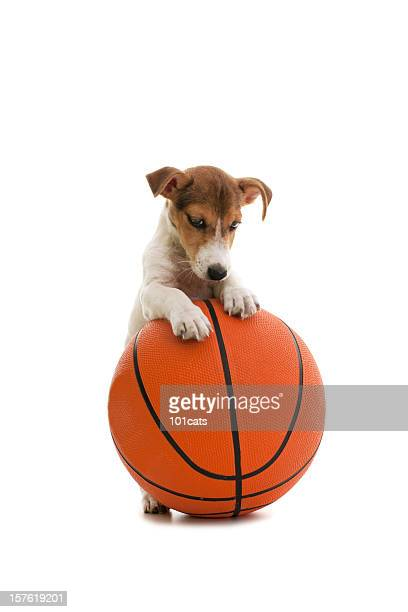 little jack russell and basket ball