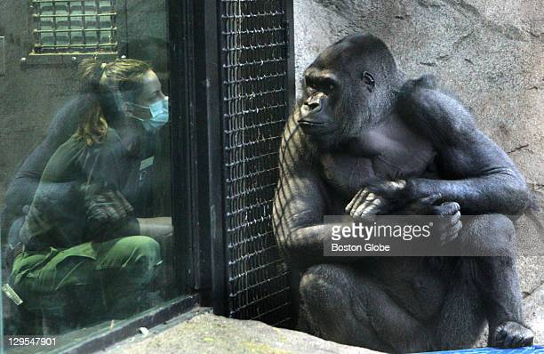 Little Joe the gorilla with senior keeper Brandi Baitchman, after getting his flu shot at the Franklin Park Zoo in Boston, Mass. On Feb. 2, 2010.
