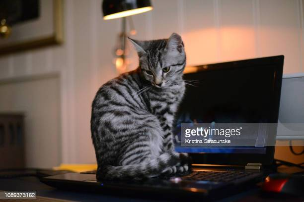 little kitten sitting on a computer keyboard - kristina strasunske stock photos and pictures