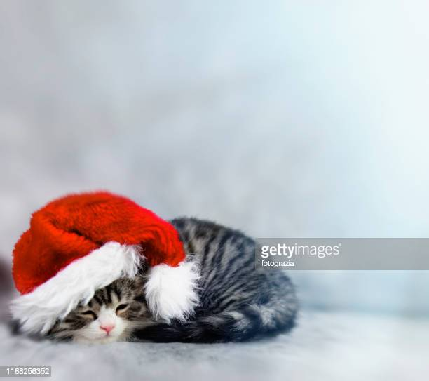 little kitty wearing santa's hat. copy space. - cat with red hat stock pictures, royalty-free photos & images