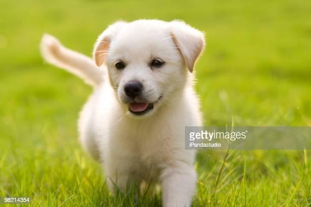 little Retriever du Labrador