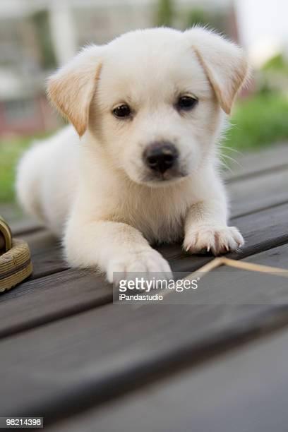 Kleine Labrador Retriever