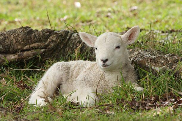 Little Lamb Wall Art
