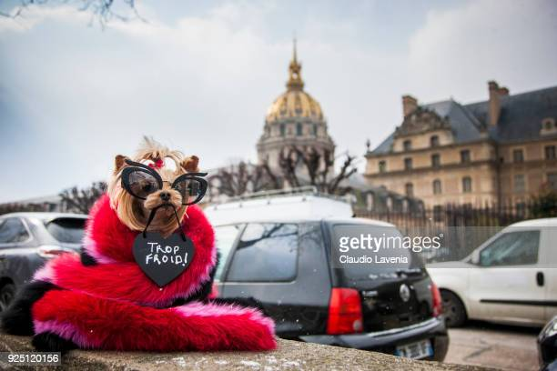 Little Lola Sunshine the dog is seen wearing a fur scarf and Miu Miu sunglasses in the streets of Paris before the Dior show during Paris Fashion...