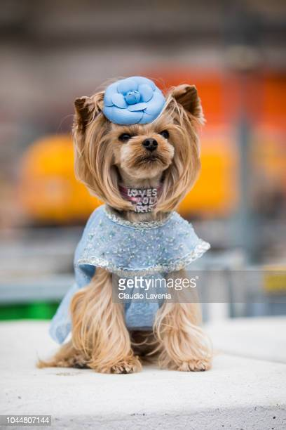 Little Lola Sunshine the dog wearing a dress inspired by Chanel Haute Couture is seen before the Chanel show on October 2 2018 in Paris France