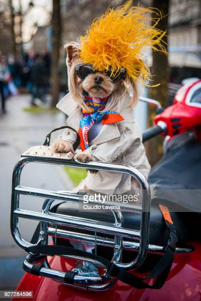 Little Lola Sunshine the dog wearing trench coat Valentino bag and Hermes foulard is seen in the streets of Paris before the Valentino show during...
