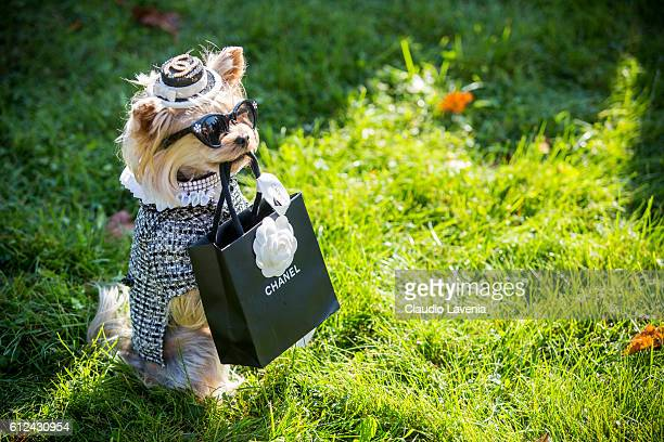 Little Lola Sunshine the dog wears Chanel outside Chanel show on day 8 of Paris Womens Fashion Week Spring/Summer 2017 on October 4 2016 in Paris...