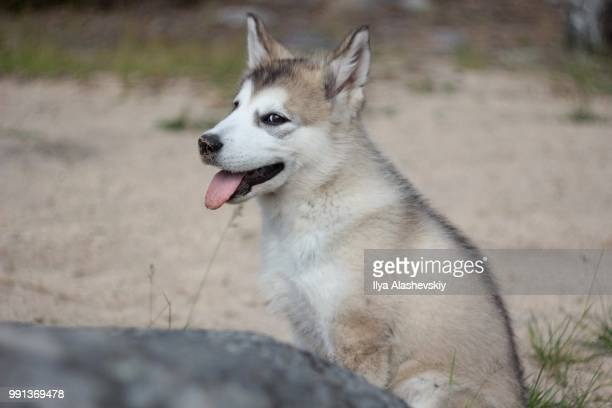 little malamute - malamute stock pictures, royalty-free photos & images