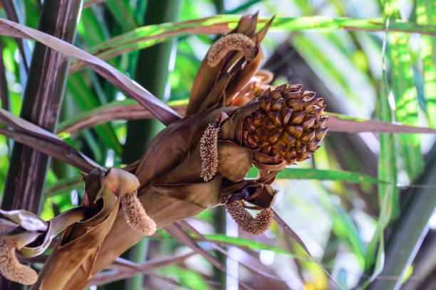 nipa palm fruit documentation essay