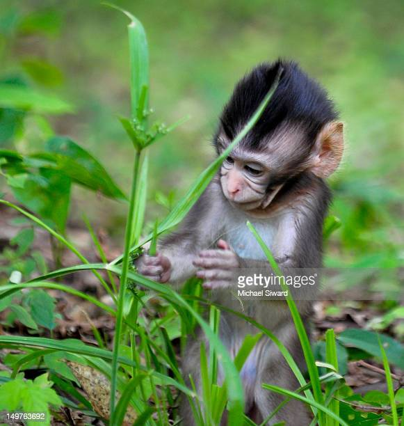 little monkey - michael siward stock pictures, royalty-free photos & images