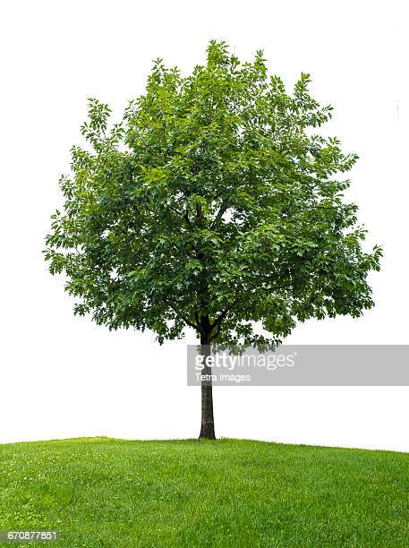 Little oak tree against white background