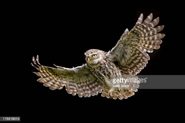 little owl athene noctua in flight - owl stock pictures, royalty-free photos & images