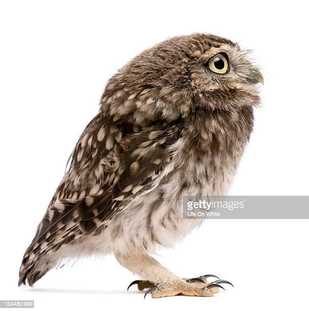 Little Owl - Athene noctua (50 days old)