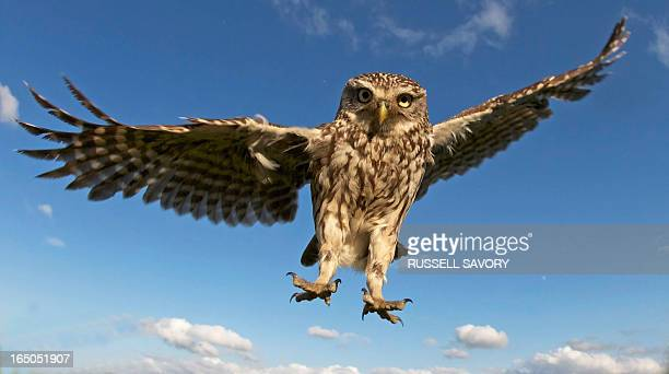 little owl coming into land - spread wings stock pictures, royalty-free photos & images
