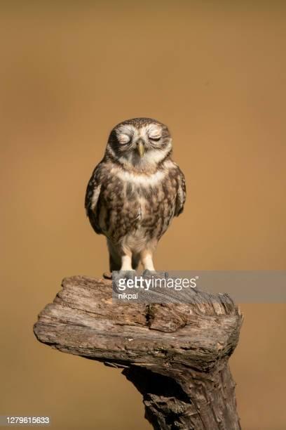 un piccolo gufo su un tronco con gli occhi chiusi con sfondo dorato ,scatto verticale, italia - fauna selvatica foto e immagini stock