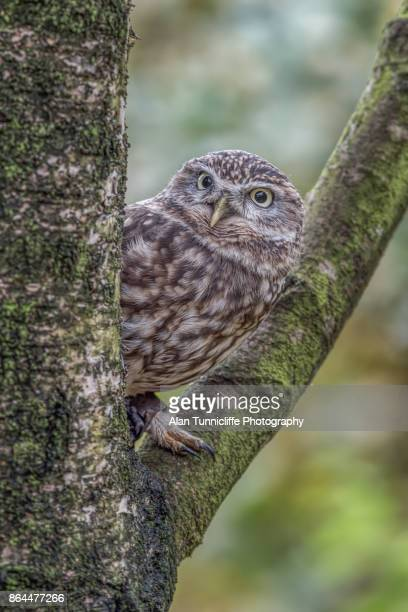 Little owl perched in a tree