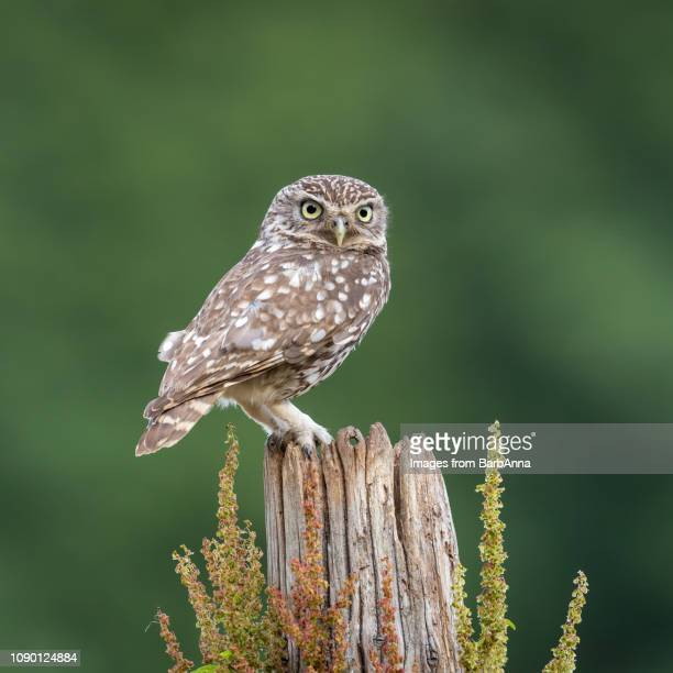 little owl perched on a tree trunk -  taken in the wild from a hide, uk - perching stock pictures, royalty-free photos & images