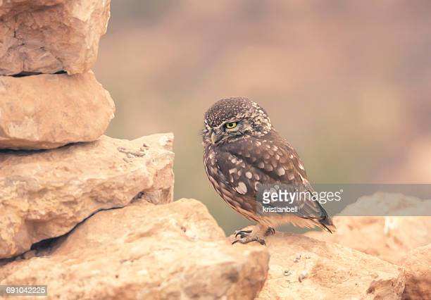 Little owl (Athene noctua) perched on dry stone wall, Morocco
