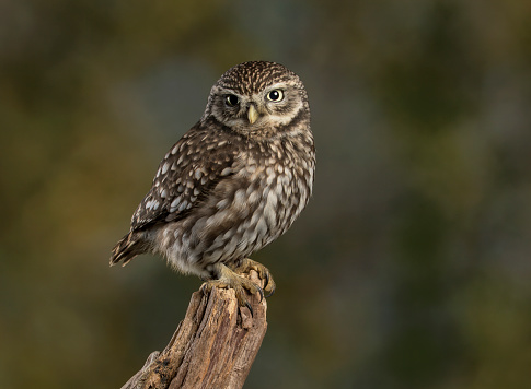 Little Owl 1050371804
