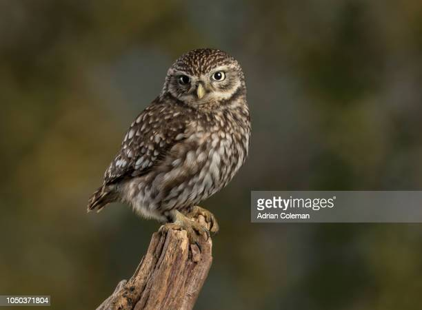 little owl - owl stock pictures, royalty-free photos & images
