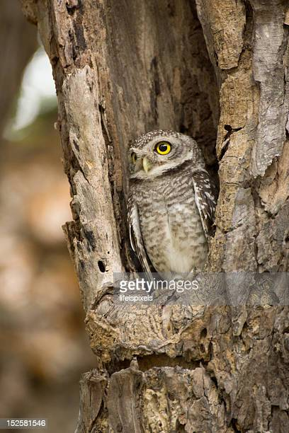 little owl (portrait) - lifeispixels stock pictures, royalty-free photos & images