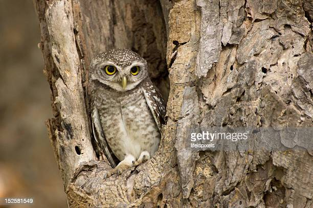 little owl - lifeispixels stock pictures, royalty-free photos & images