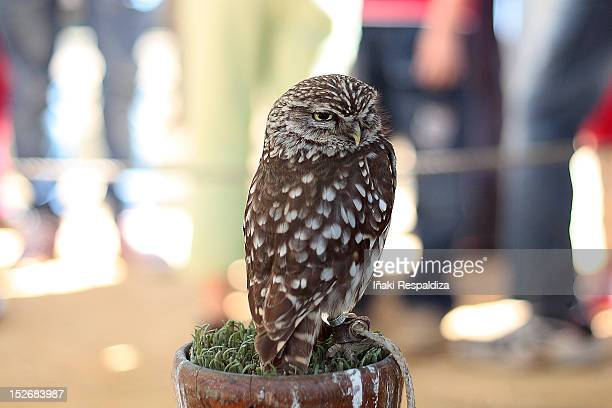 little owl - iñaki respaldiza stock pictures, royalty-free photos & images