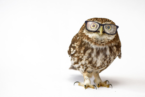 Little Owl wearing glasses, (Athene noctua) standing on a white background 978422774