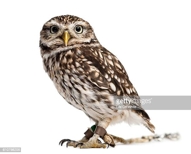 Little owl with jesses isolated on white