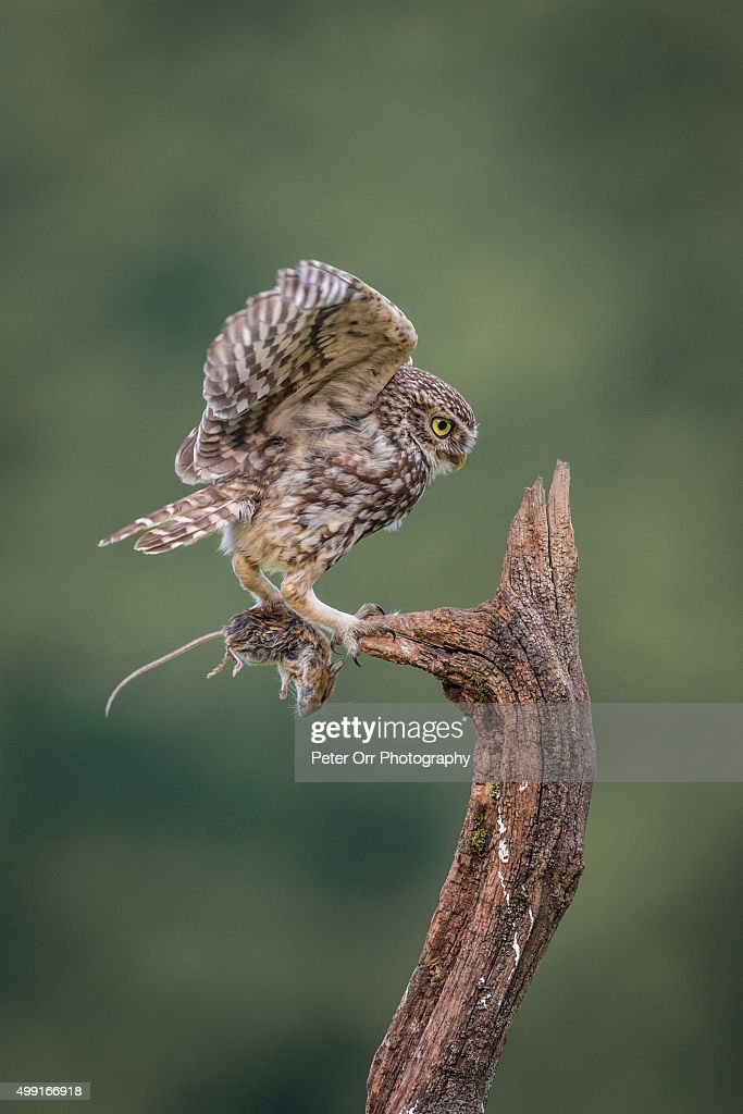 Little owl with long-tailed field mouse : Stock Photo