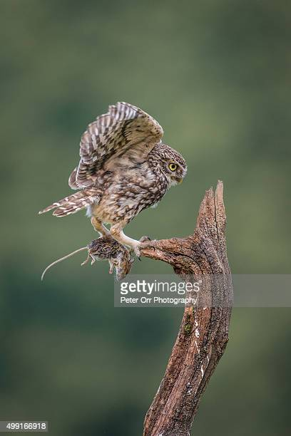 little owl with long-tailed field mouse - field mouse stock photos and pictures
