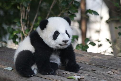 Little panda cub in Chengdu panda base, china 1077404042