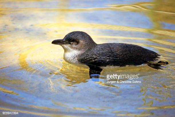 Little Penguin (Eudyptula minor), adult, swimming in the water, Kangaroo Island, South Australia
