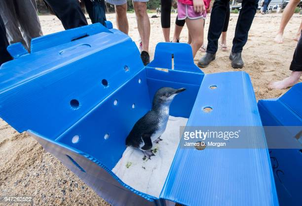 Little Penguin stands in its box before being released at Shelly Beach on April 17 2018 in Sydney Australia The five Little Penguins were released by...