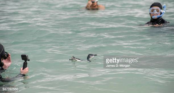 Little Penguin swims in the ocean after being released at Shelly Beach on April 17 2018 in Sydney Australia The five Little Penguins were released by...