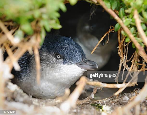Little Penguin/Fairy Penguin (Eudyptula Minor) nesting in Wildlife, Australia (XXXL)
