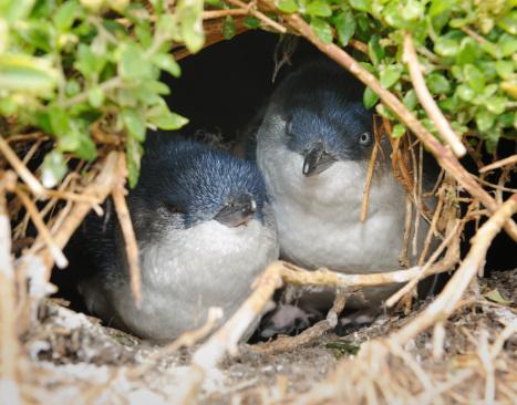 Little Penguins/Fairy Penguins (Eudyptula Minor) breeding in Wildlife, Australia (XXXL) 155152855