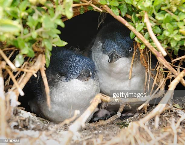 little penguins/fairy penguins (eudyptula minor) breeding in wildlife, australia (xxxl) - penguin stock pictures, royalty-free photos & images