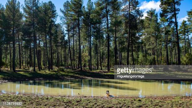little permanent lagoon in karst area with puppy dog taking a bath - perro de pura raza stock pictures, royalty-free photos & images
