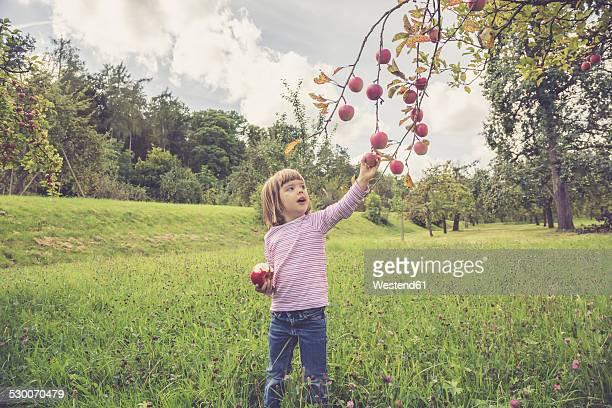 little picking apples from a tree - dreiviertelansicht stock-fotos und bilder