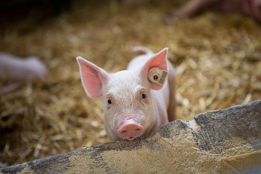 A little piglet is in barn. 961585720
