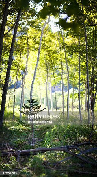 Little Pine Tree Sapling Amongst Birch Trees