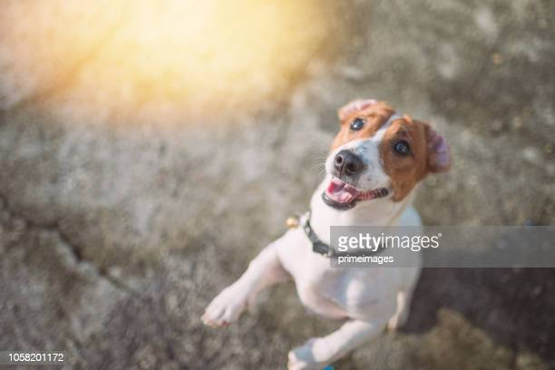 little playful jack russell terrier dog playing in garden in morning - bark stock pictures, royalty-free photos & images